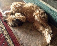 Molly the Wheaten Terrier