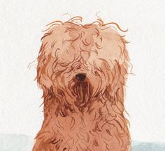 A LABRADOODLE. YES.