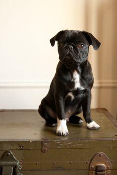 black pug mix?Still looks like a pug,  cute!!!