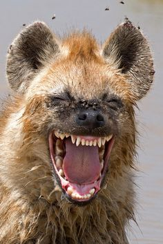 "finalists of the 2016 Comedy Wildlife Photography Awards ""Laughing"" hyena in Tanzania. Credit: Yaron Schmid/Comedy Wildlife Photography Awards""Laughing"" hyena in Tanzania. Smiling Animals, Laughing Animals, Happy Animals, Animals And Pets, Funny Animals, Cute Animals, All Animals Photos, Crazy Animals, Pretty Animals"