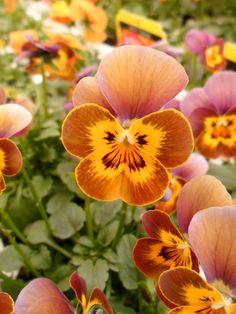 Beautifully coloured Violas, Aldridge, Walsall, England All Original Photography byhttp://vwcampervan-aldridge.tumbl...