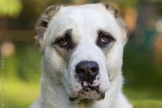 Central Asian Shepherd Dog.