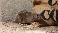 Coronavirus: How to prevent rats taking over your home during Covid-19 lockdown Rat Pest Control, Mice Control, Chicago Beats, Roof Rats, Getting Rid Of Rats, Catch A Mouse, Pest Solutions, Garden Pests, Chickens Backyard