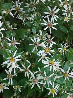 Aster Aster divaricatus - Kwekersvergelijk Aster, Plants, Flowers