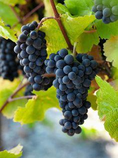 Grape - Pinot Noir