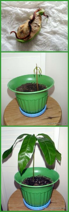 Grow a mango plant! Remove the seed from the pit. Wrap in damp paper towels and put in an airtight container for about 2 weeks. Check it and change the paper towels if they are dry or icky. It's ready to plant when it has a nice root. This tree was already starting to grow when I unwrapped it.  Plant the seed flat with the root down (I use tropical plant soil) and don't completely cover the seed. Make sure not to let the plant dry out . . . I usually water it every few days. Class dismissed!