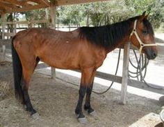 Ventura is an adoptable Tennessee Walker Horse in Hitchcock, TX. 4 black socks...