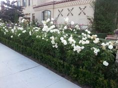 Hedges framing iceberg roses...perfect for the front yard.