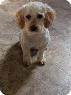 Mount Gretna, PA - Cockapoo Mix. Meet Lance, a dog for adoption. http://www.adoptapet.com/pet/12282679-mount-gretna-pennsylvania-cockapoo-mix