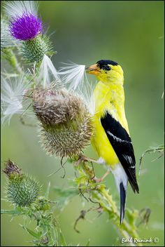 Goldfinch...we get lots of these in our yard...they love our rosemary groundcover.