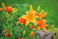 Orange Lilies ~ #Photography #Garden #Flowers
