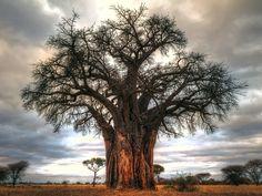 Baobab Tree in Tarangire National Park, Tanzania. Photo by Anne McKinnell.