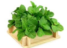 Crafty Uses for the Mint from Your Garden. OMG this is exactly what I'm looking for with all that mint that's growing crazy in the garden! Growing Mint, Green Craft, Mint Extract, How To Make Homemade, Gardening Tips, Outdoor Gardens, Outdoor Plants, Peppermint, Herbalism