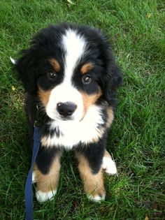 Bernese Mountain Dog Puppy ...cant wait to have one again. those eyes!! ___ Dogs Lover?? Visit our website now! :-)