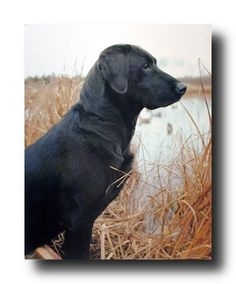 Brighten your home with this beautiful black Labrador dog art poster. This poster features a stylized image of an black Labrador dog sitting near pond sure to upgrade and goes with any decor style. Perfect wall poster for every beautiful home specially for dog lovers. Labrador dogs are good-natured, trustworthy, dependable and easy-going as well. Labrador dogs are very affectionate with their families.