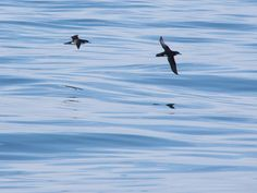 Manx Shearwater are very popular here in Pembrokeshire, however that hasn't always been the case. In 1998, the population on Ramsey Island was just 850 pairs but in 2012 that figure had leapt to 3,800 pairs. To find out more visit: http://www.rspb.org.uk/…/2015/06/17/manx-shearwater-surveys…