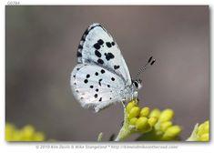 Leone's Blue (Philotiella leona)  - endangered species