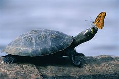 turtle & butterfly... I learned that the butterflies drink the turtles tears. The tears are rich in minerals and help the butterflies reproduce.
