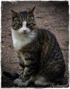 Suvikumpu Cats, Animals, Gatos, Animales, Animaux, Animal, Cat, Animais, Kitty