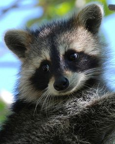 Raccoons are not always this sweet looking!