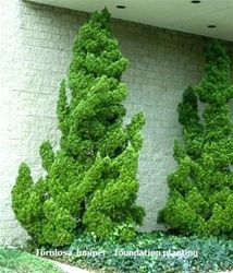 """Juniperus chinensis 'Torulosa' also referred to as 'Kaizuka' or 'Hollywood' Junipers Mature Height: 10-14 ft ( some specimens have been seen up to almost 18 ft tall ) Mature Width: 4-6 ft Growth rate: Moderate ( 6""""-12"""" avg per yr ) Hardiness Zones: 4-9"""