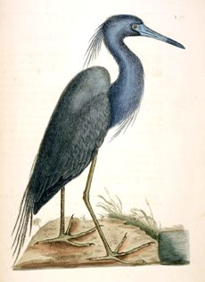 Ardea Caerulea (The blew Heron) - p. 76  The Natural History of Carolina, Florida, and the Bahama Islands, Volume 1  Catesby, Mark  London, England  1731-1743
