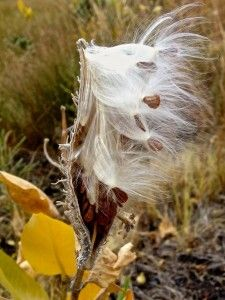 Showy milkweed seeds still attached to the pod, their silken parachutes almost ready to take to the wind. Butterfly Weed, Monarch Butterfly, Butterflies, Amazing Gardens, Beautiful Gardens, Plant Species, Propagation, Native Plants, Garden Design