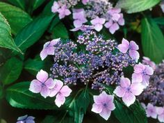 Loved for their unique blossoms and bushy habit,  hydrangeas  are perfect for brightening a shady spot in the cottage garden. Bloom color depends on variety and soil pH: blue flowers appear when planted in more acid soil, and you can expect pink flowers in alkaline soils.