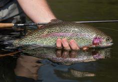 Nice #rainbowtrout on the #sunrayflyfish pl2 #dryfly #troutfishing #flyfishingjunkie #flyfishingaddict #flyline #flyfishing #trout