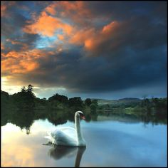Cisne em Spittalfield, Escócia. | Swan in Spittalfield, Scotland.