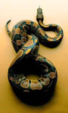 "Ball Python ~ Miks' Pics ""Animals lV"" board @ http://www.pinterest.com/msmgish/animals-lv/"