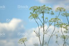 Dill Weed and Blue Sky Background royalty-free stock photo
