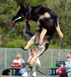 Disc Dog Competition Englewood FL 2011