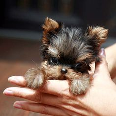Teacup yorkie : You look so cute and so smart with your little  gorgeous eyes...