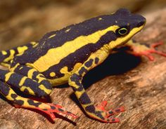 New Species Frog Photos - Endangered Frog Photos - The Daily Green