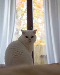Shooting Miri instead of my plate today!  Happy #caturday everybody hope it's a good one!  #veganlove #veganfamily #vegangirl #adoptdontshop #rescued #rescuecat #kitty #cats #britishshorthair #vegan #crueltyfree #bkh #Katze #white #beauty #bestfriend #weekend #whitecat #fall #autumn #colouredleaves #window #apartment #minimalism #allwhite #stayinbed #slowmorning