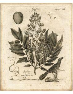 Early Botanical Printable |  Geoffroea Shrub and a Gracula bird.