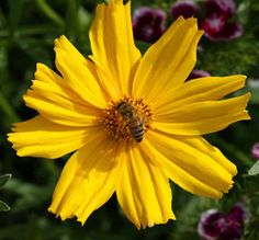 Honey Bee on Lance-Leaved Coreopsis.