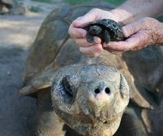 Baby galapagos tortoise!