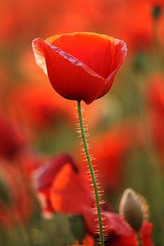 Esta flor es una amapola. ¿Por qué no pensamos en palabras que se refieren a cosas que son de color rojo? Por ejemplo: fresa.