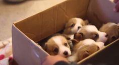 Une boîte remplie de chiots corgi