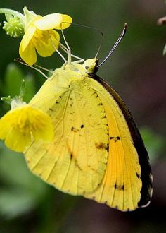 Yellow And Yellow Sulphur Butterfly Greeting Card for Sale by Travis Truelove