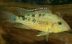 "GEOPHAGUS STEINDACHNERI CICHLID 1.5"". $19.00 Expedited Shipping. ALSO KNOWN AS REDHUMP EARTHEATER This is a South American Freshwater eartheater cichlid fish, native to the Amazon River Basin, Brazil. Aquarium Fish Food, Freshwater Aquarium Fish, Rare Fish, Exotic Fish, South American Cichlids, Cichlid Fish, Fish Stock, Tropical Fish, Marine Life"