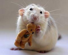 A white rat holds a golden teddy bear