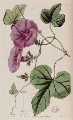 Belles fleurs - Belles fleurs 038 Ipomoena ficifolia - Fig-leaved Ipomoena - Gravures, illustrations, dessins, images