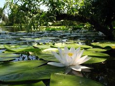 Something Awful, Lotus Pond, Natural Beauty, Lily, Landscape, Flowers, Nature, Figurative, Experiment
