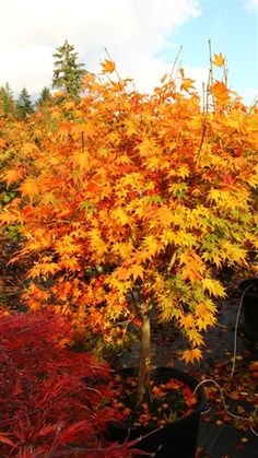 1000 images about favorite maples on pinterest acer - Decorative trees with red leaves amazing contrasts ...