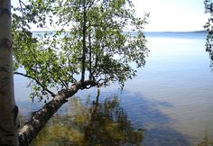 Great place to sit and dip your toes on the water.  #lake #water #Aurinkoranta #birch #summer