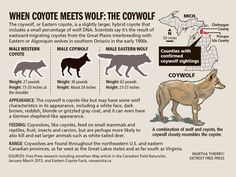 The coywolf, or Eastern coyote, is a slightly larger,