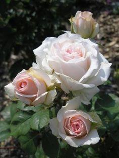 """ Hawkeye Belle "" - Shrub rose - Strong fragrance - Dr. Griffith J. Buck (US), 1975"